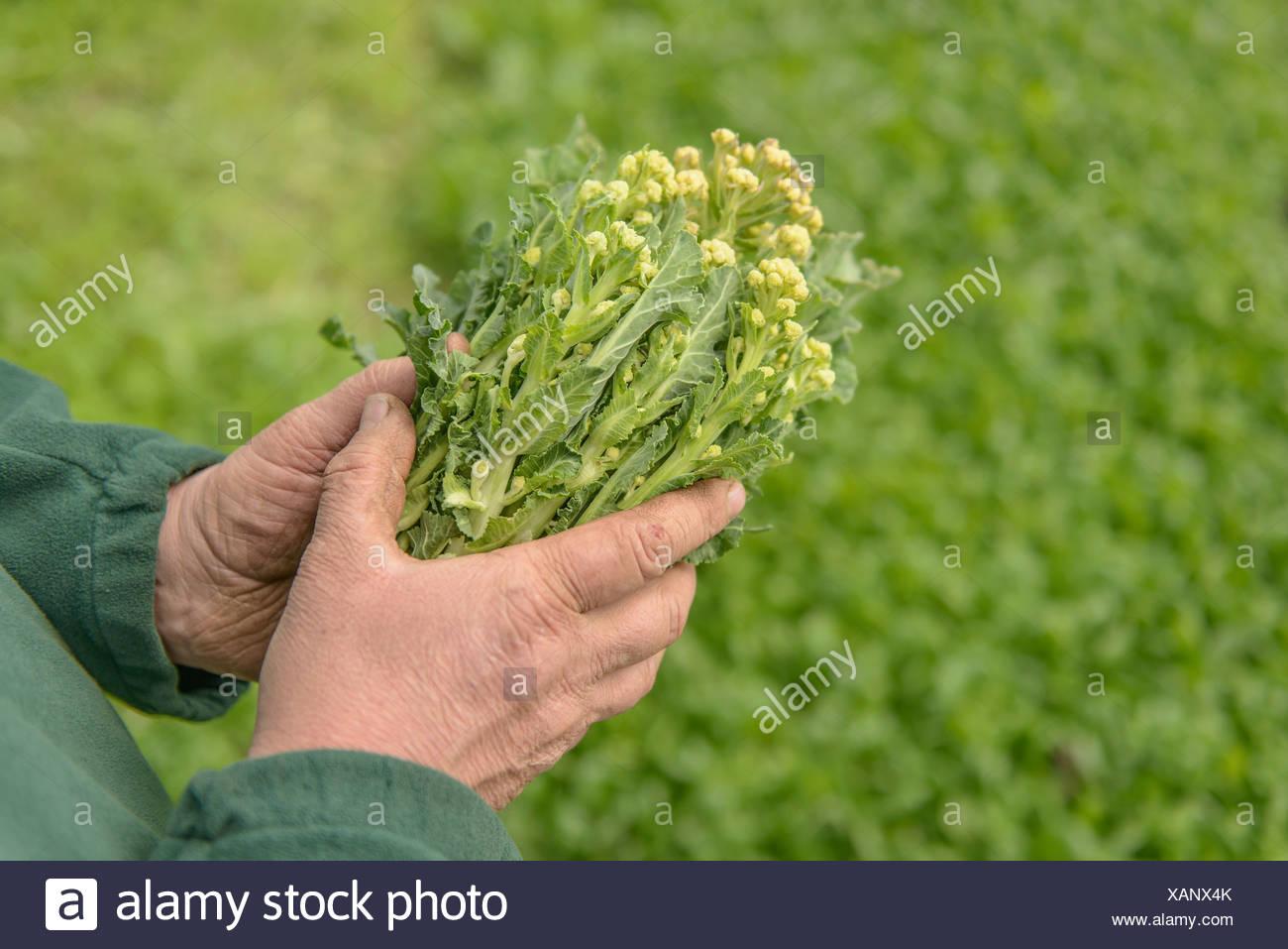 Agricoltore ispezione bianco organico broccoletti, close up Foto Stock
