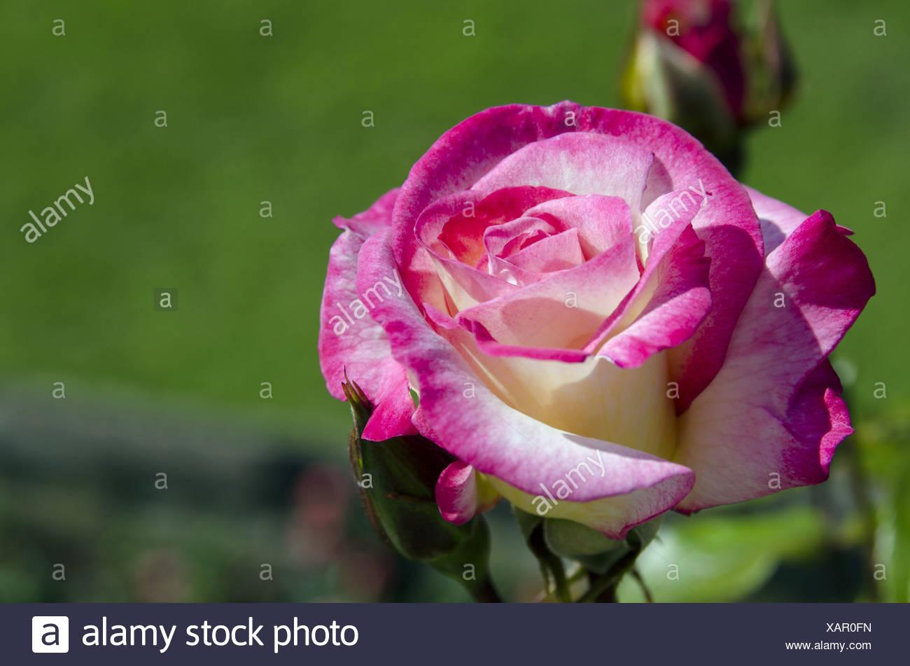 Dolcezza Rose, il Castello di Windsor, Windsor, Inghilterra Immagini Stock