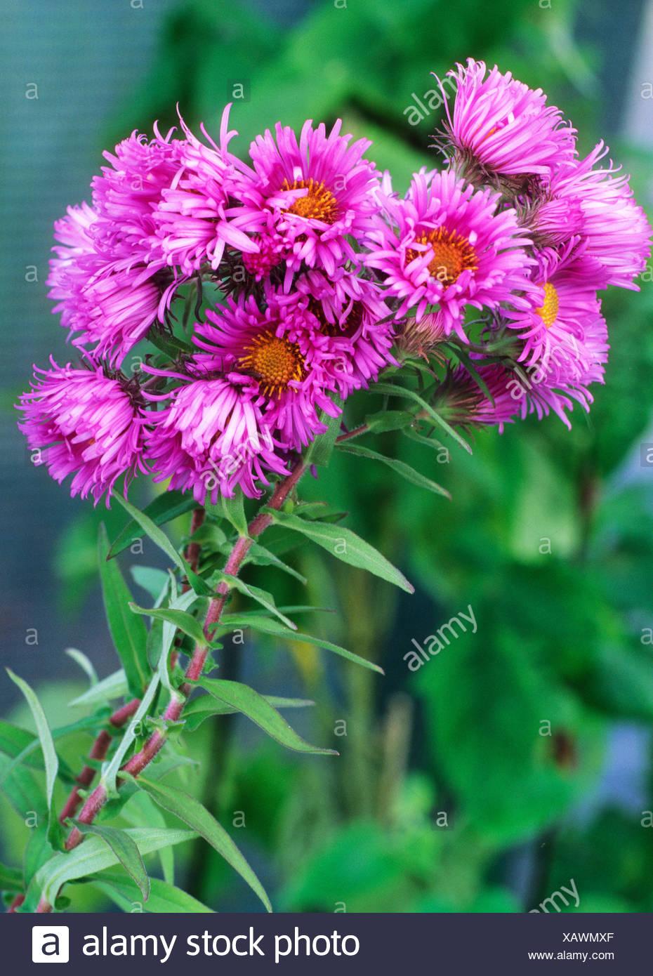 Aster Novae Angliae Barr Rosa Fiori Piante Da Giardino Autunnale Di