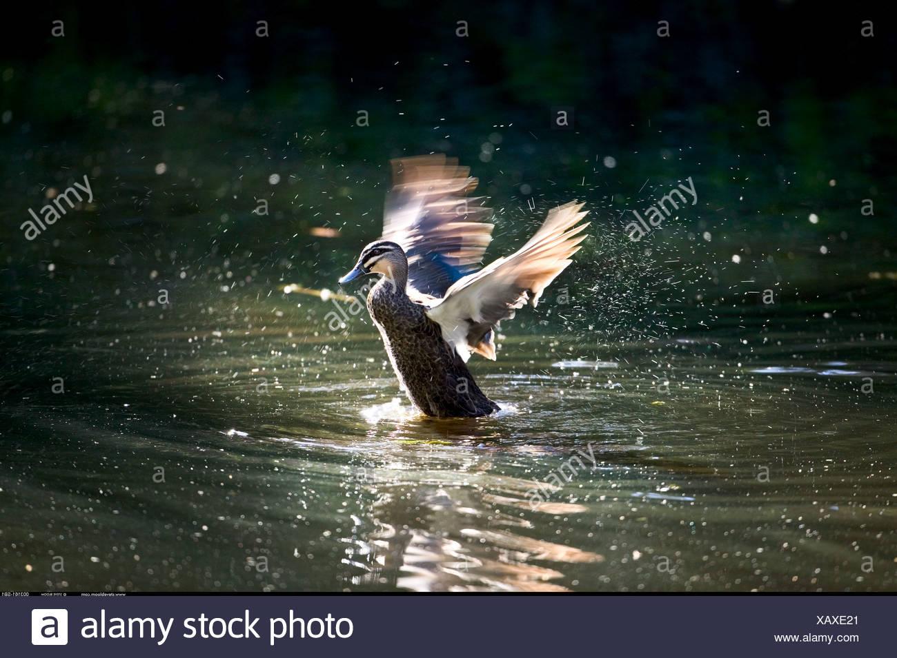 Pacific Black Duck schizzi a terra Warrawong Sanctuary Australia Immagini Stock