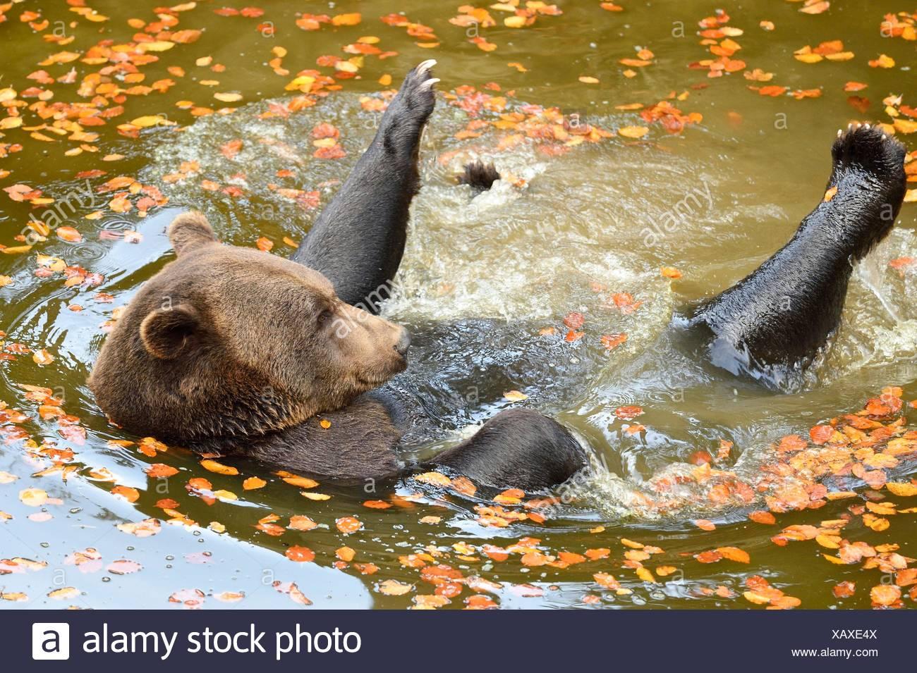 Orso bruno di balneazione in un lago Immagini Stock