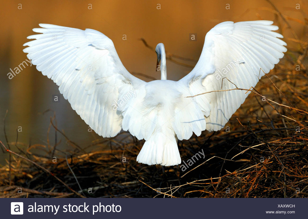 Garzetta Casmerodius Albus heron ciconiformi uccelli uccelli acquatici fly garzette beaver lodge Altmuehl lago di Franconia animale animali, Immagini Stock