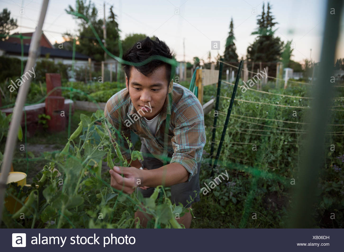 L'uomo esaminando snap piselli in crescita in orto Immagini Stock