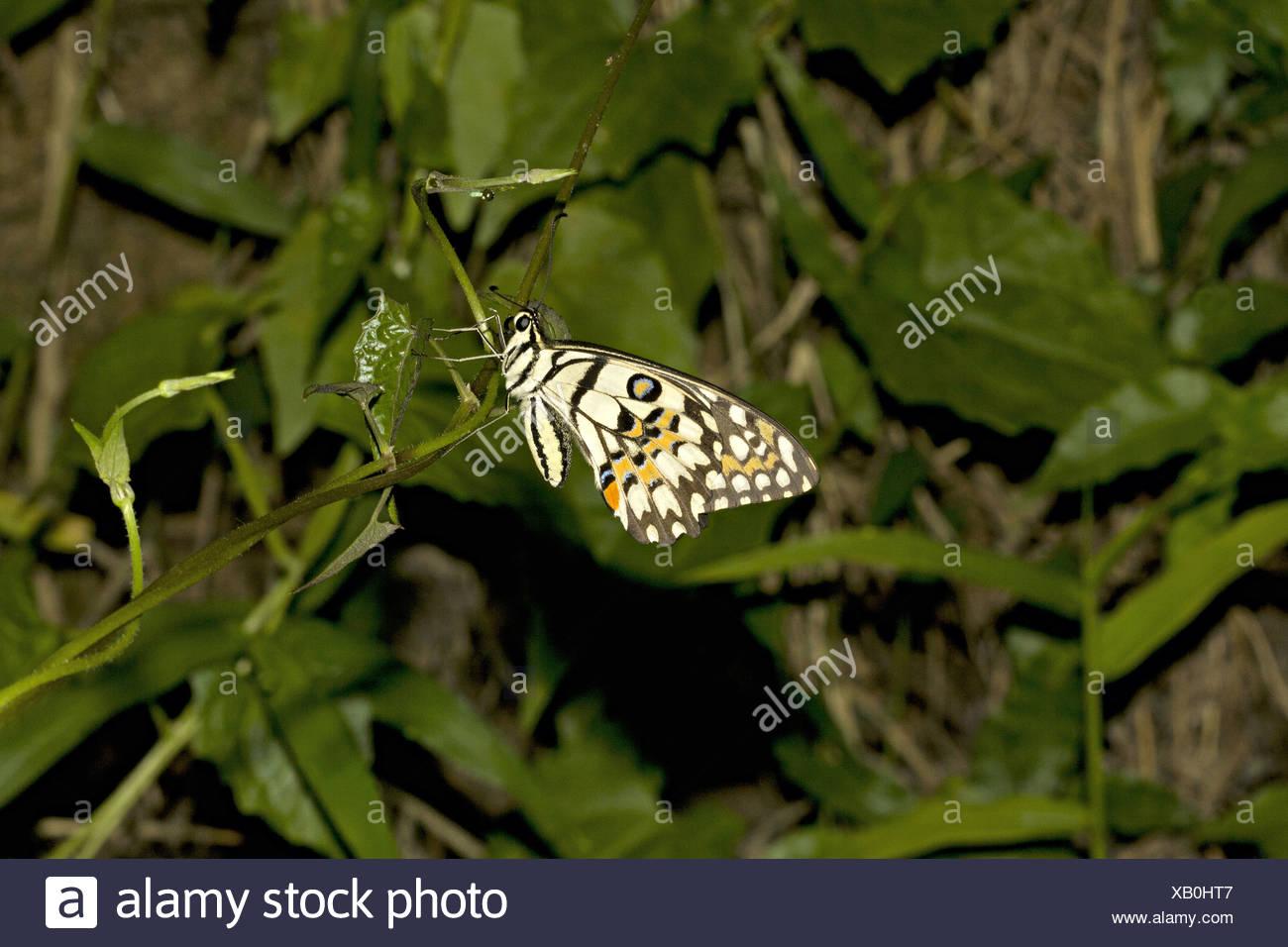 Calce COMUNE BUTTERFLY Papilio demoleus, comune quartiere Golaghat, Assam, India Papilionidae : Swallowtails Immagini Stock