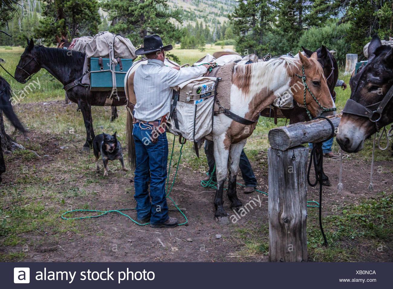 Un cowboy outfitter marcia carichi su cavalli in una montagna di backcountry camp. Immagini Stock