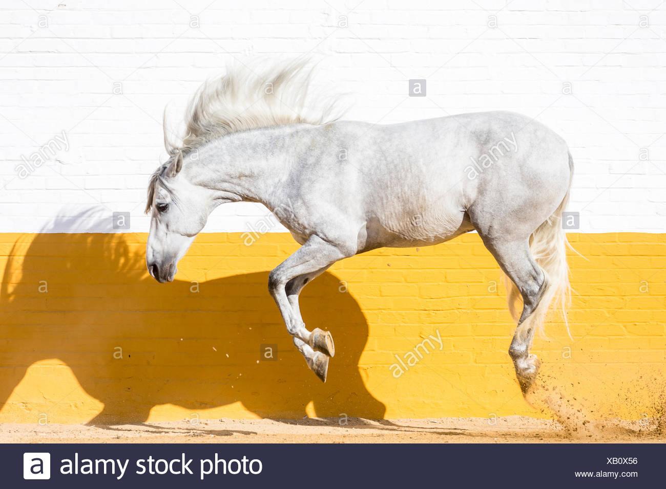 Puro Cavallo Spagnolo andaluso. Stallone grigio saltando in un paddock. Spagna Immagini Stock