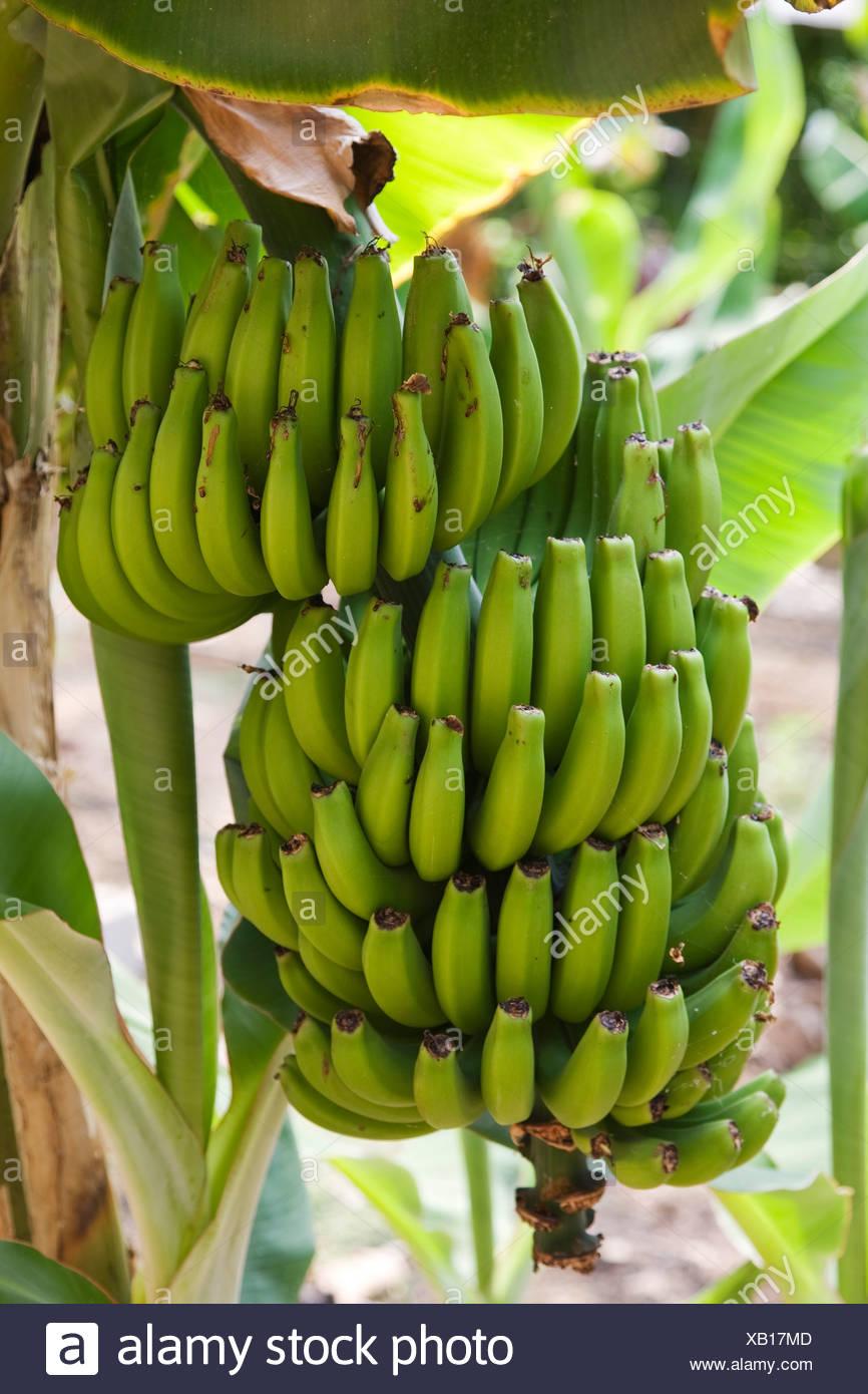 Pianta Di Banana Foto banana mazzetto pendenti da piante di banana (musa foto