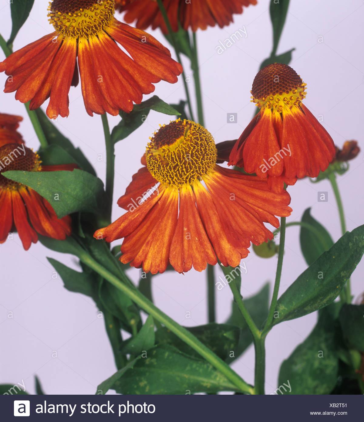 Helenium 'Moorheim bellezza' fiori Immagini Stock