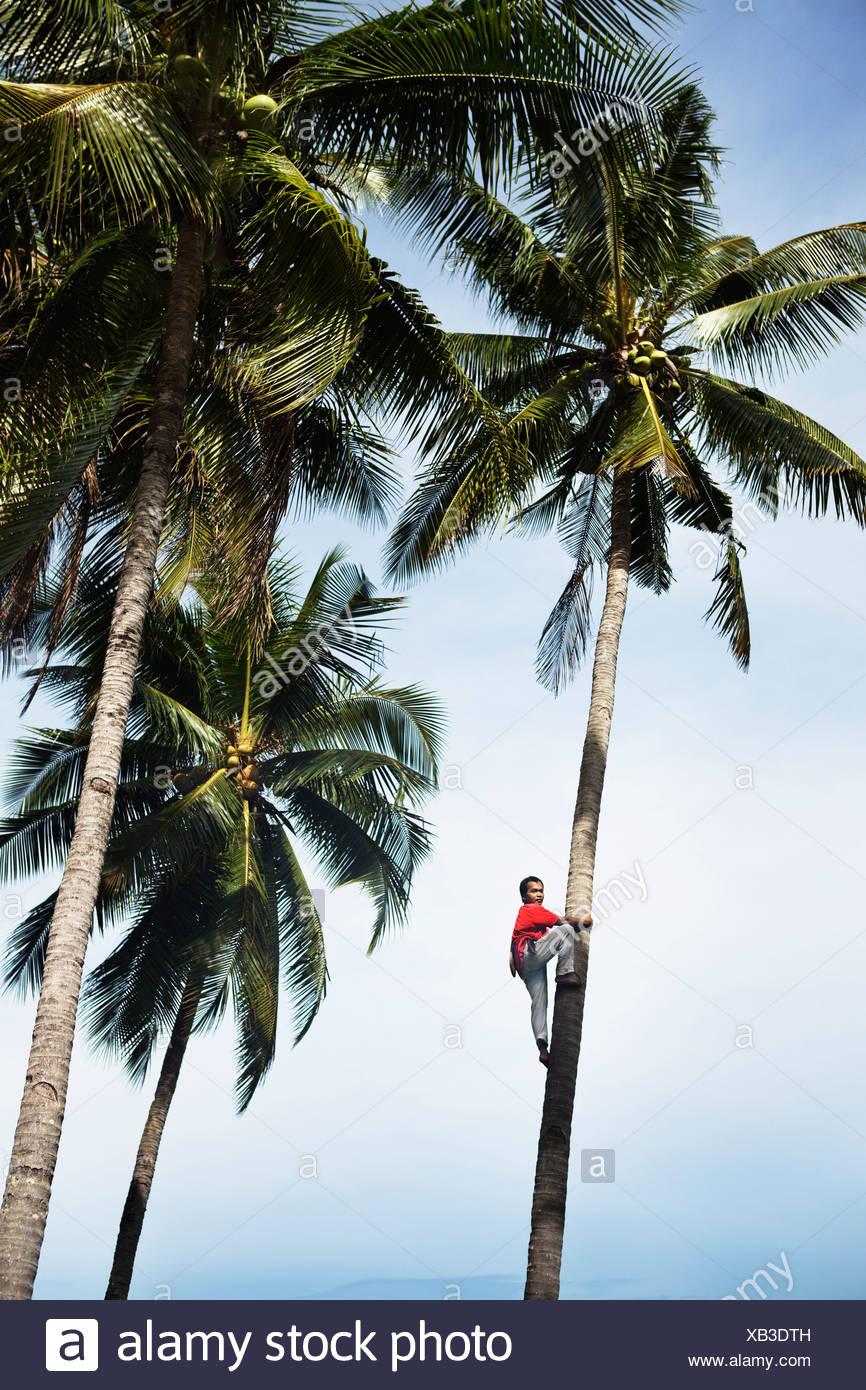 L'uomo arrampicata alberi di palma tropicali Immagini Stock