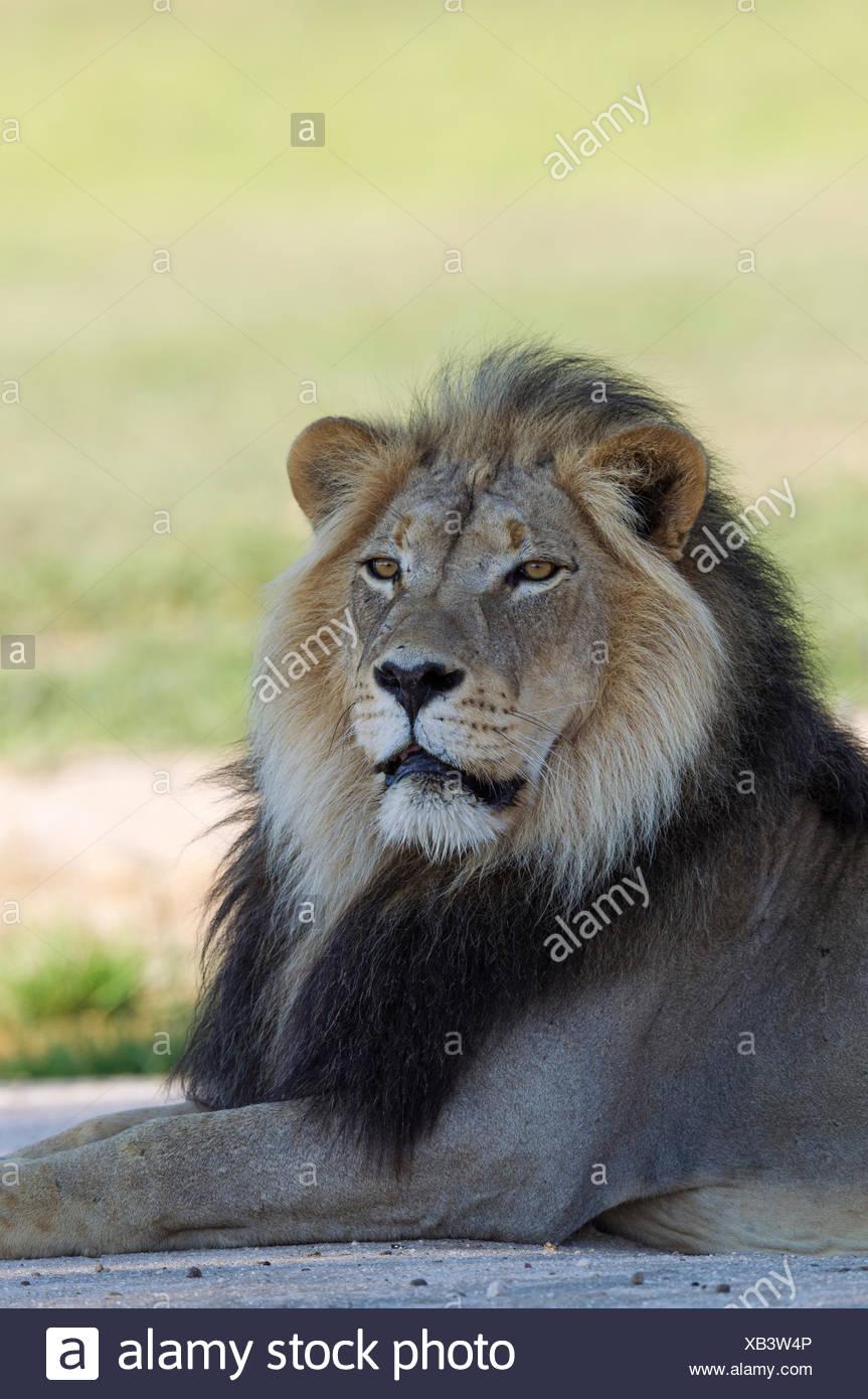 Lion (Panthera leo), nero-maned maschio del Kalahari, riposo, durante la stagione delle piogge con dintorni verdi, ritratto, Deserto Kalahari Immagini Stock