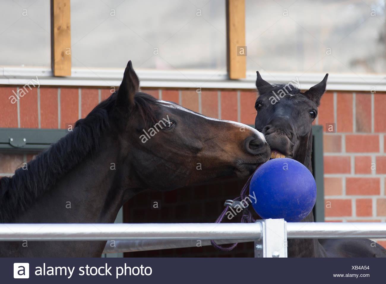 Due cavalli adulti giocare a palla Immagini Stock