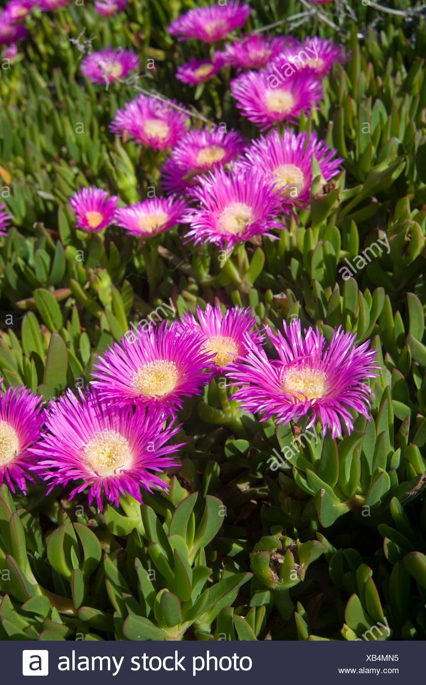 Superstrada iceplant, hottentot fig (Carpobrotus edulis), fioritura Immagini Stock