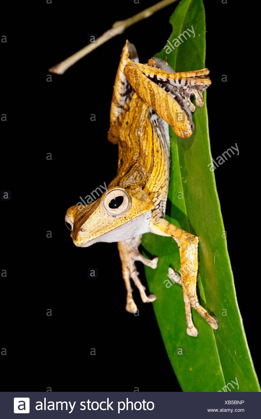 Foto van een boomkikker; foto di un file-eared raganella; Immagini Stock
