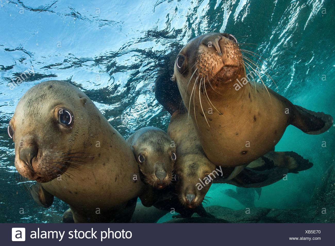 Chiudere il gruppo di adolescente Steller leoni di mare, Eumetopias jubatus. Immagini Stock