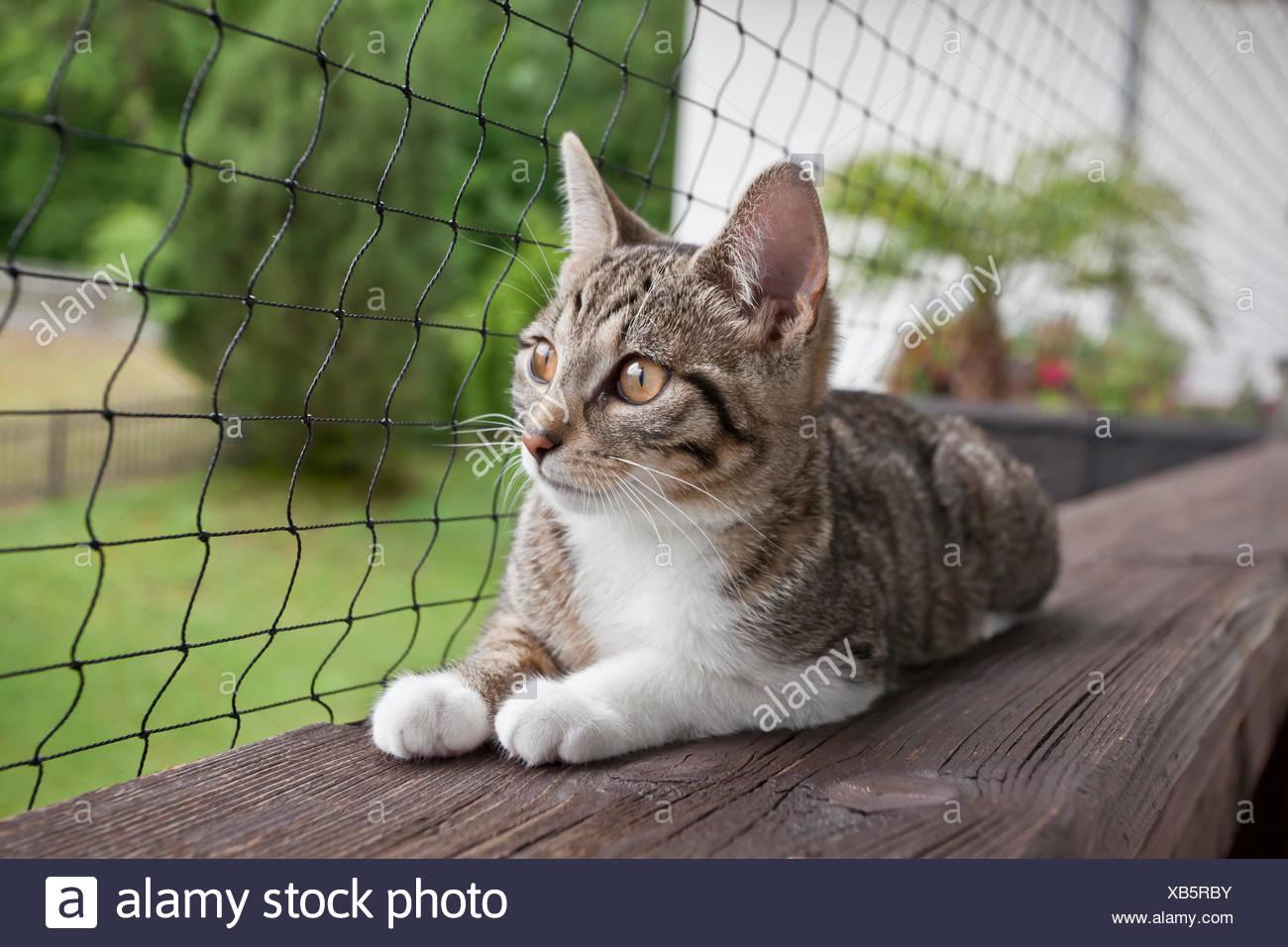 Il gatto domestico è sdraiato su un balcone di fronte a una rete Immagini Stock