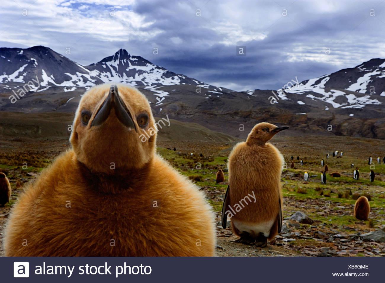 Pinguino reale pulcini, Isola Georgia del Sud, Regno Unito Immagini Stock