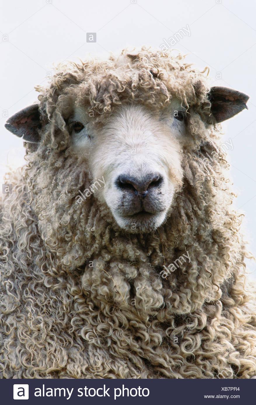 Ritratto di pecora, Isola di Skye in Scozia Immagini Stock