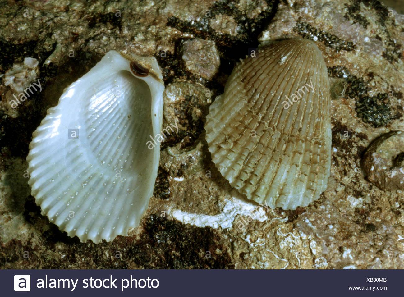 Fileclam spinosa, lima spinosa (frilled shell file) (Lima lima), conchiglie giacente sulla roccia bagnata Immagini Stock