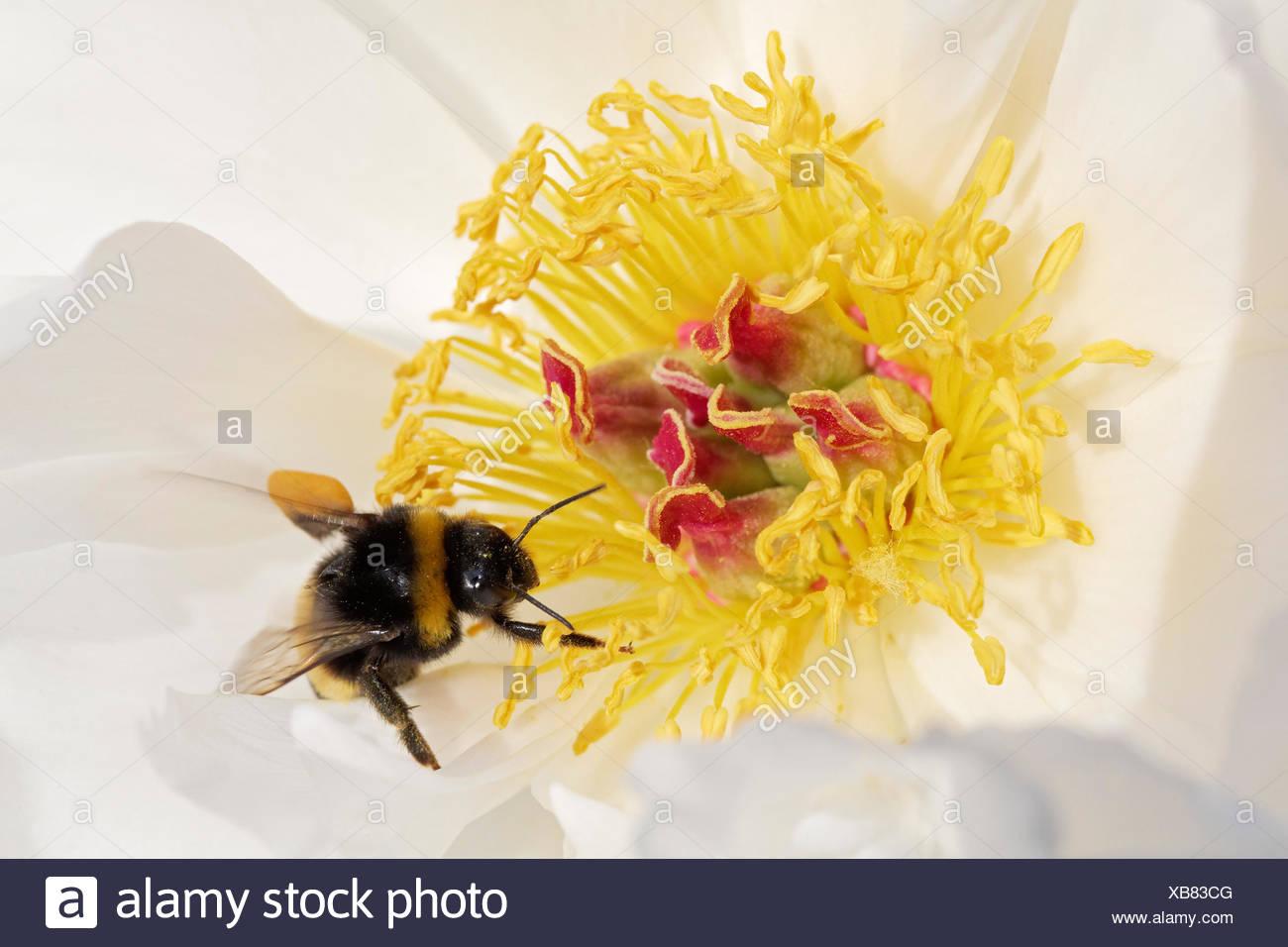 """Bumblebee (Bombus hortorum) con carichi di polline arroccato su un cinese peonia (Paeonia lactiflora), 'ZU ZU"""" varietà Immagini Stock"""