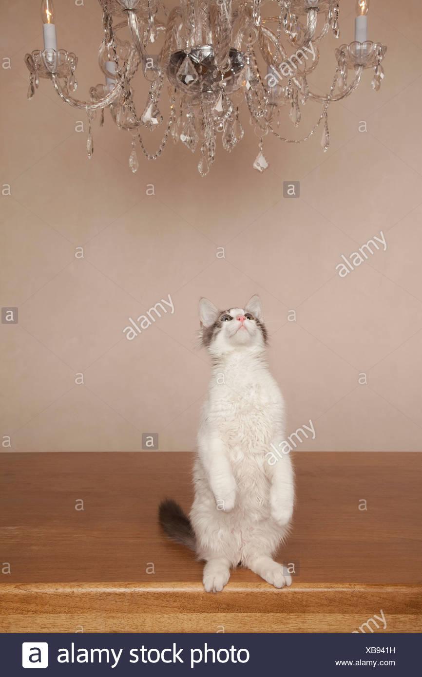 Un gatto sotto un lampadario, sulla sua haunches guardando verso l'alto. Immagini Stock
