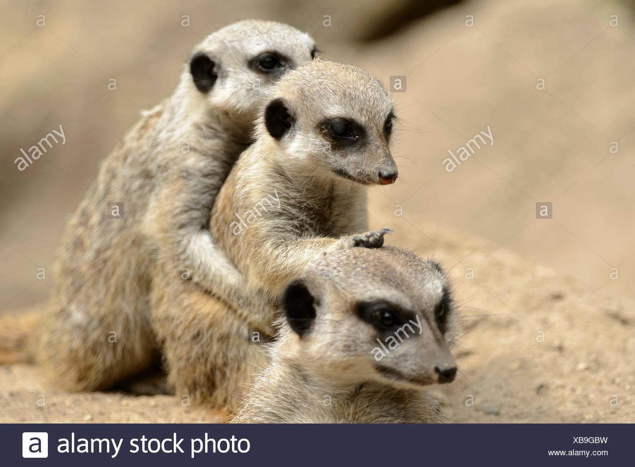 Meerkats / (Suricata suricatta) Immagini Stock
