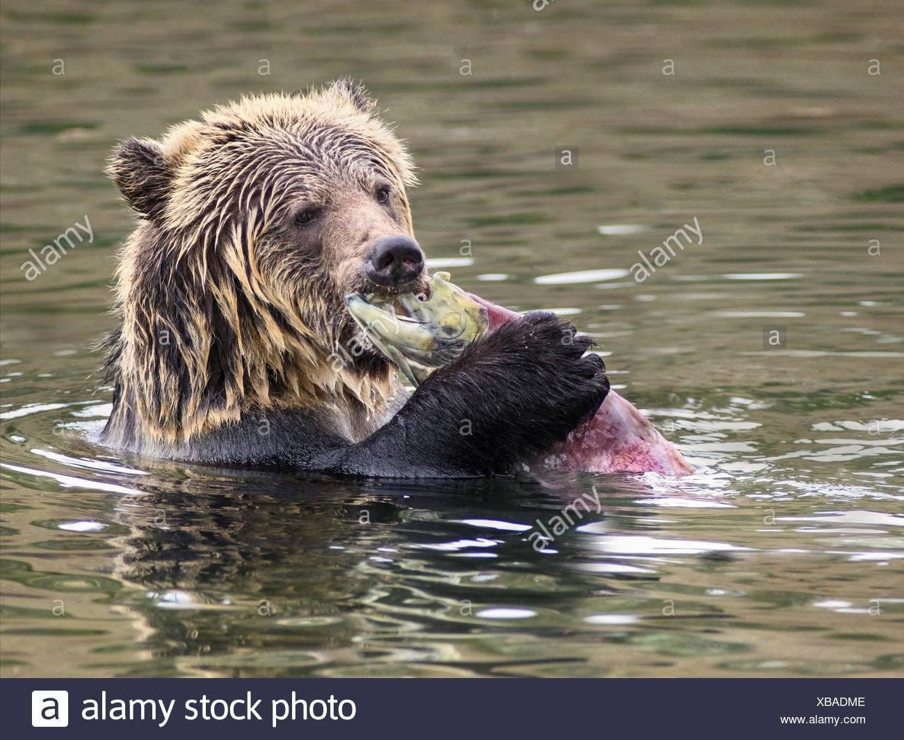 Orso grizzly (Ursus arctos horribilis), sub-adulto, in acqua di salmone alimentazione stream sul salmone sockeye (Oncorhynchus nerka), central British Columbia, Canada Immagini Stock