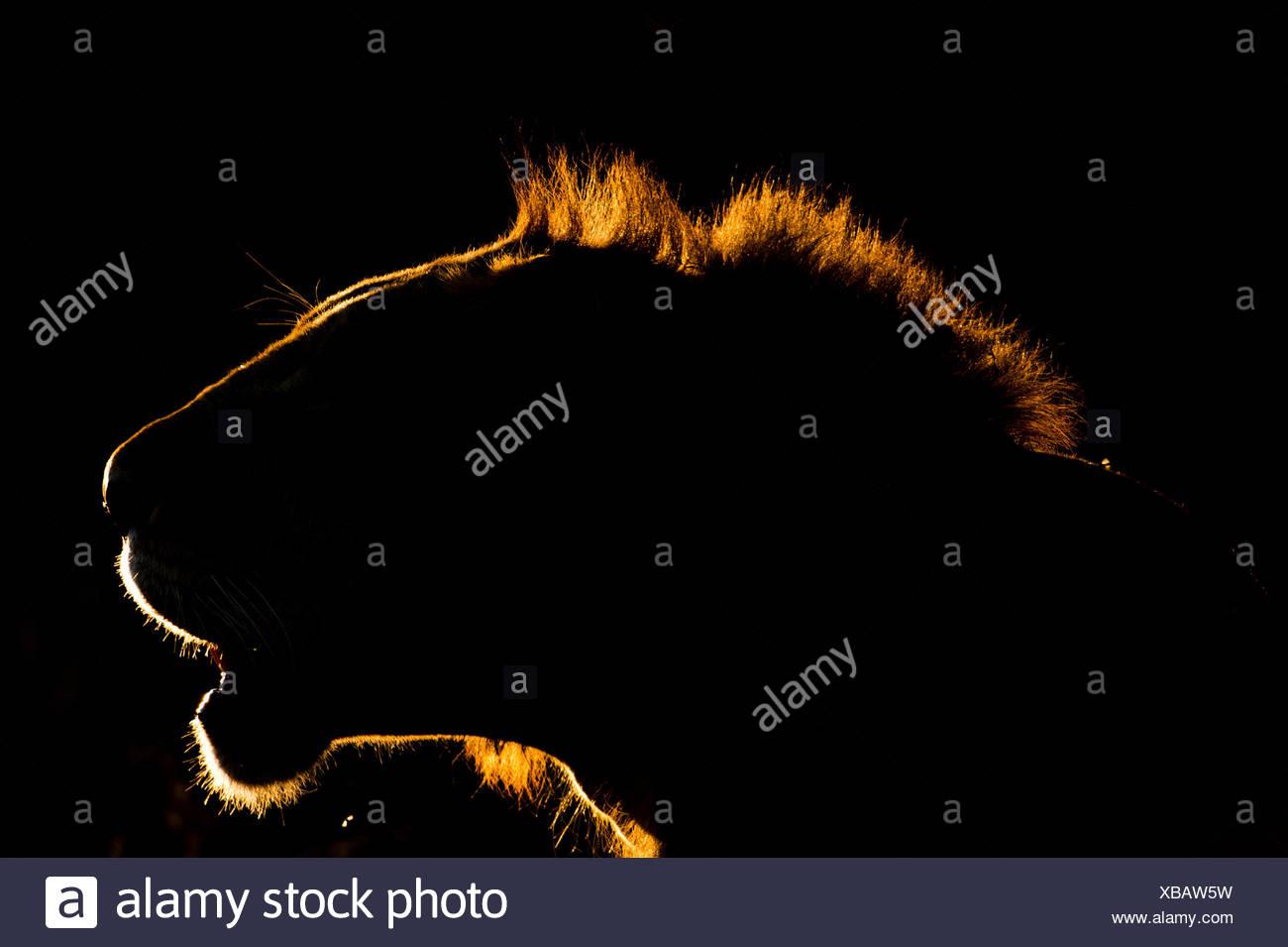 Un ritratto retroilluminato di leone Panthera leo, al tramonto. Immagini Stock