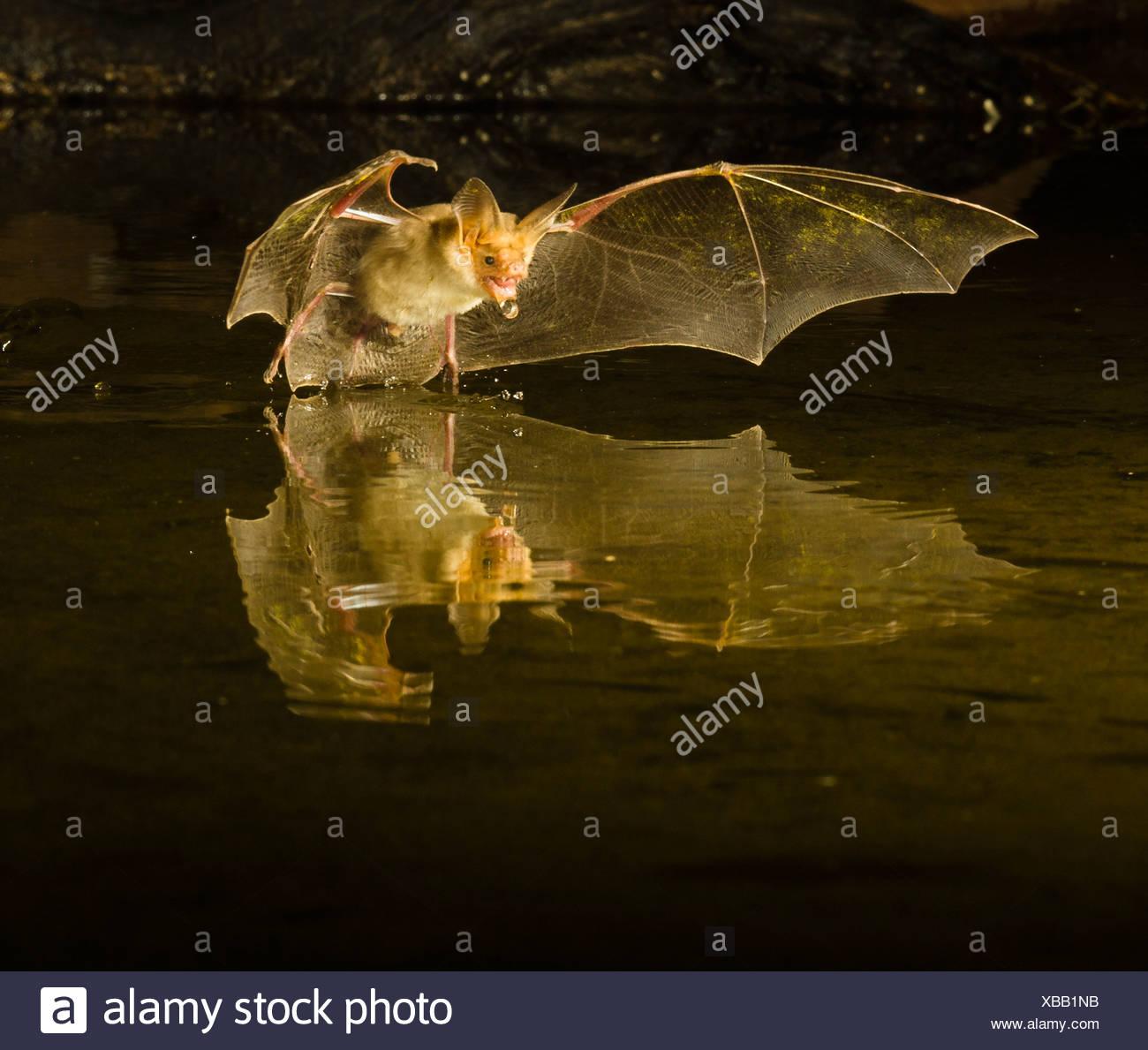Pallida Bat piomba su di un piccolo stagno, Southern Arizona, Stati Uniti d'America Foto Stock