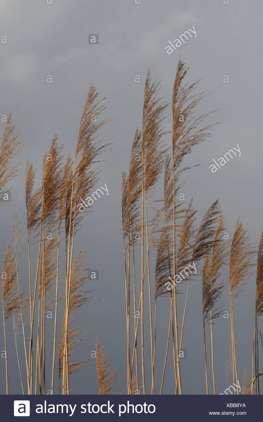 Reed, dettaglio, autunno, reed, lago, piante, Rispen, cieli, grigio, cloudies, natura Immagini Stock