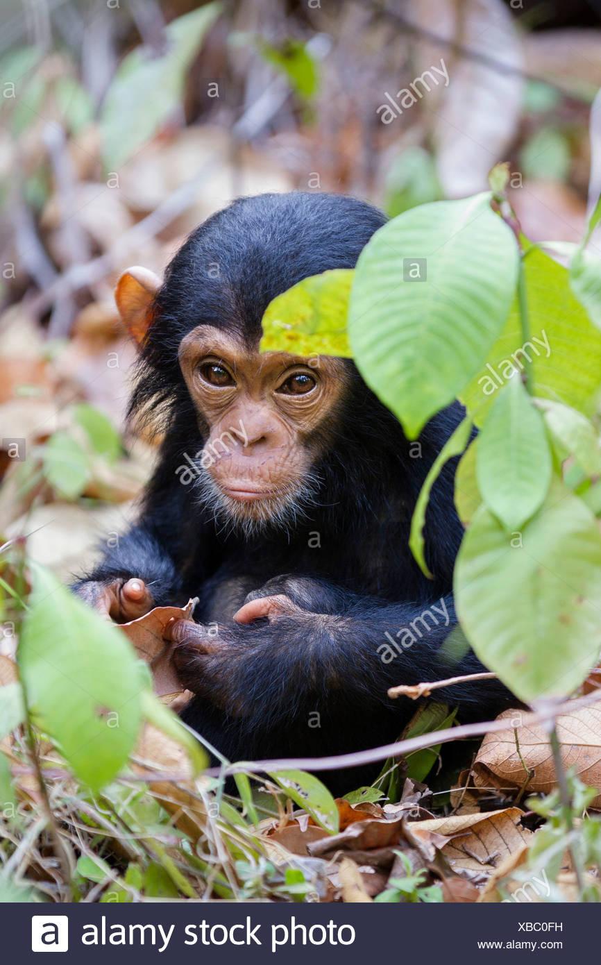 Giovani scimpanzé (Pan troglodytes), circa 6 mesi, Mahale Mountains Nationalpark, Ostafrika, Tanzania Immagini Stock