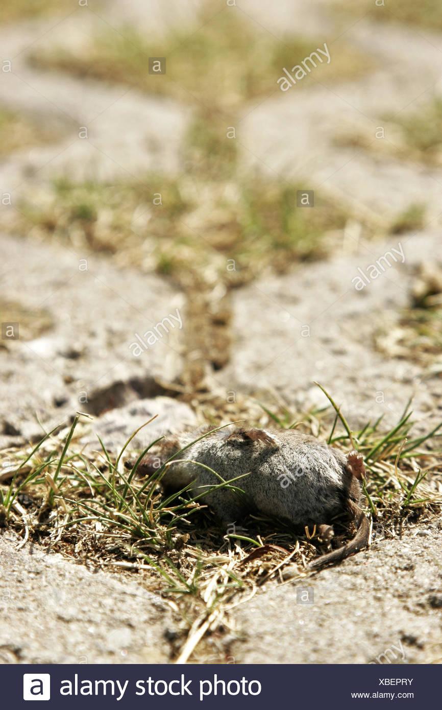 Vicolo del paese, mouse, poltiglia muscolo, mortale, modo, erba, pavimentazione di pietra, soggiorno-at-home, animale roditore, agricoltura, estate, piccolo, minuscolo, Pest, Immagini Stock
