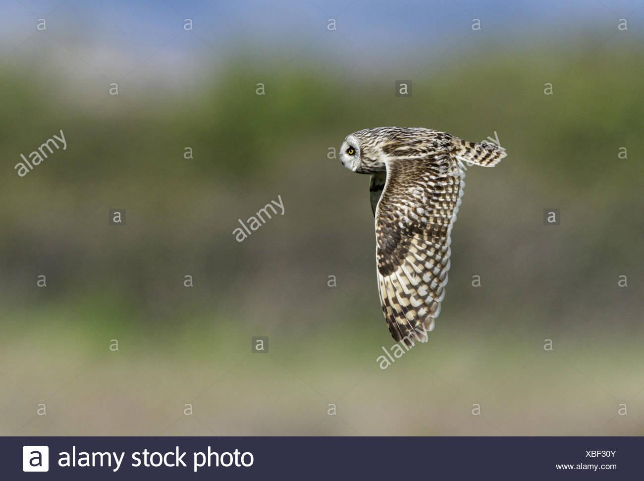 Corto-eared Owl - asio flammeus Immagini Stock
