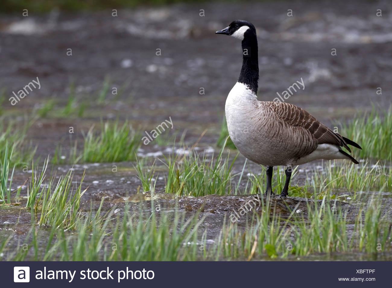 canada goose lungo