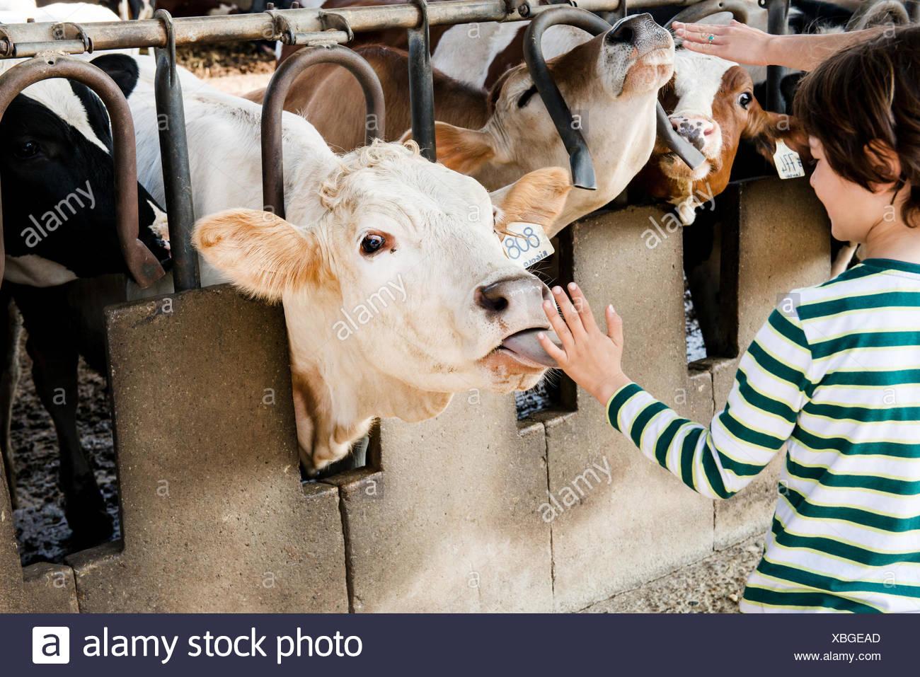 Cow boy leccare la mano su organic dairy farm Immagini Stock