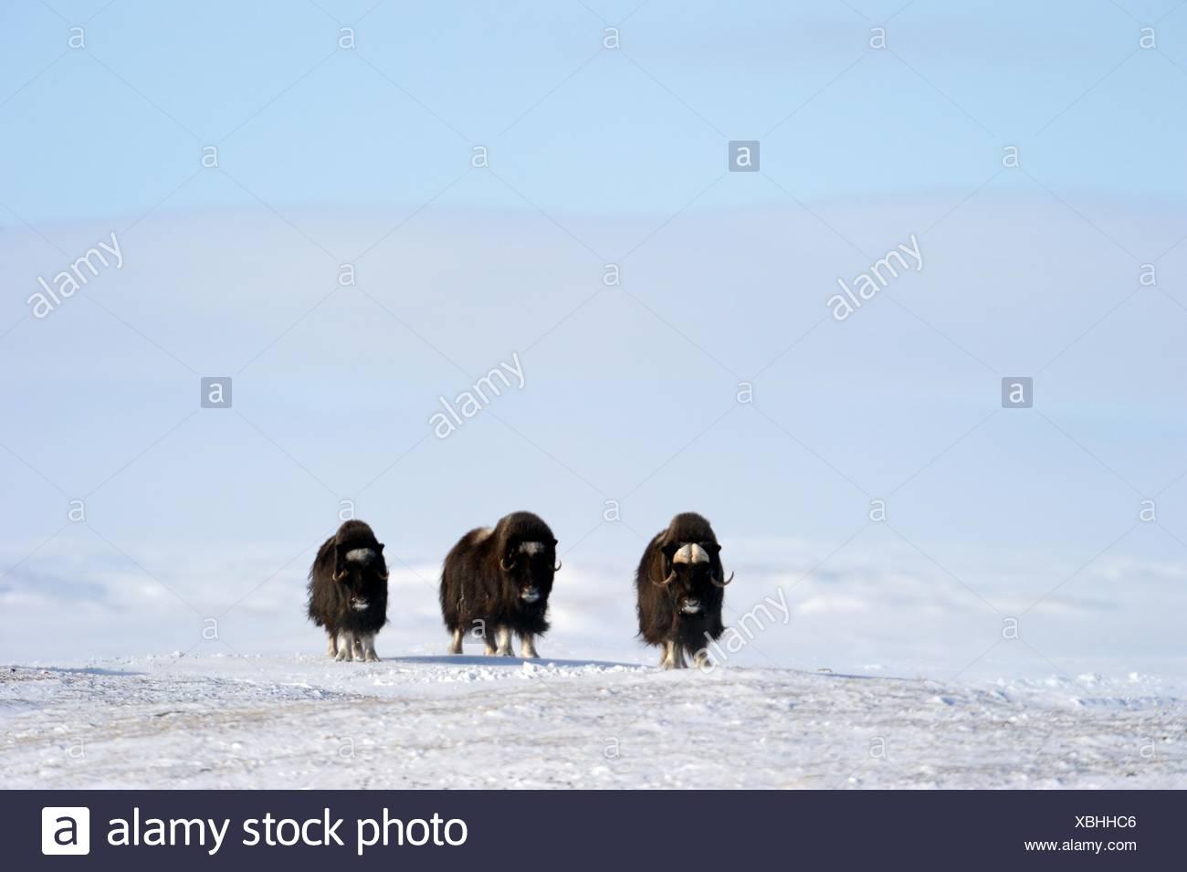 Tre Muskox in snow Ovibos moschatus banche Isola, Nord Ovest Territori, Canada Immagini Stock