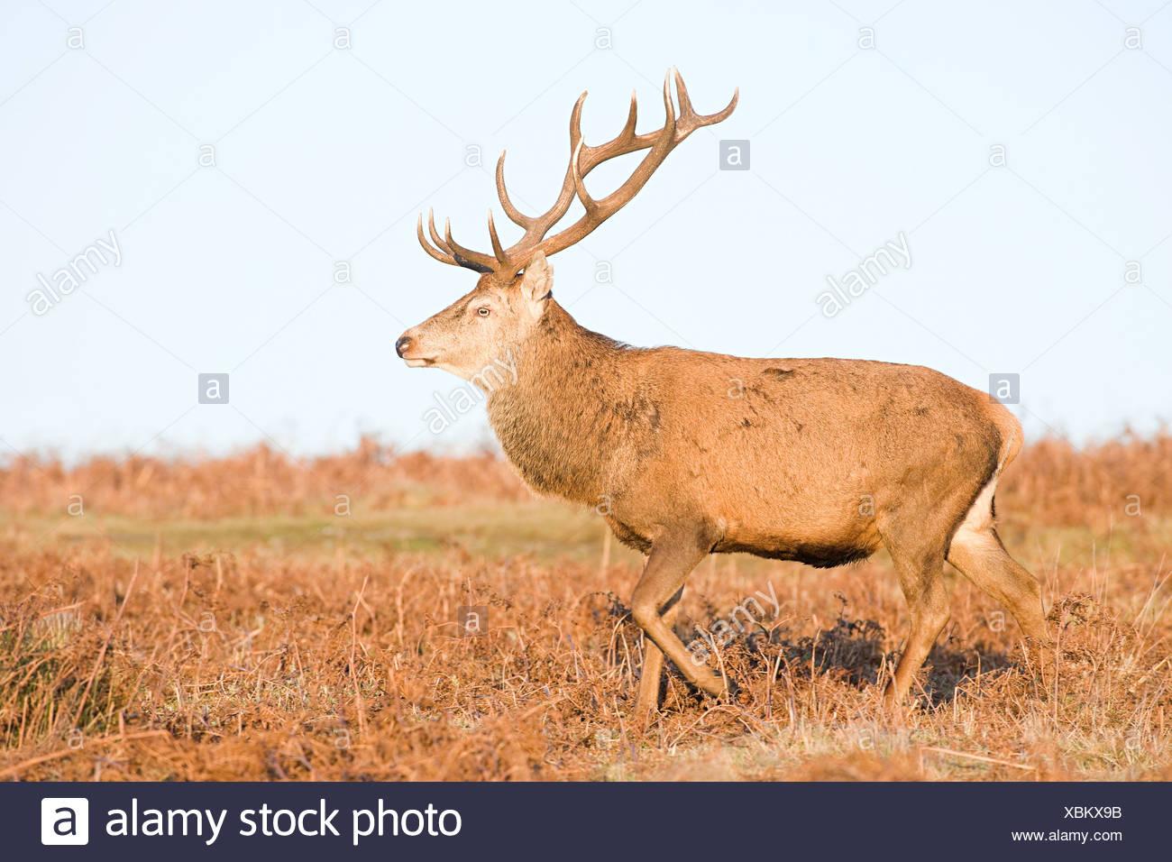 Maschio dei cervi rossi Immagini Stock