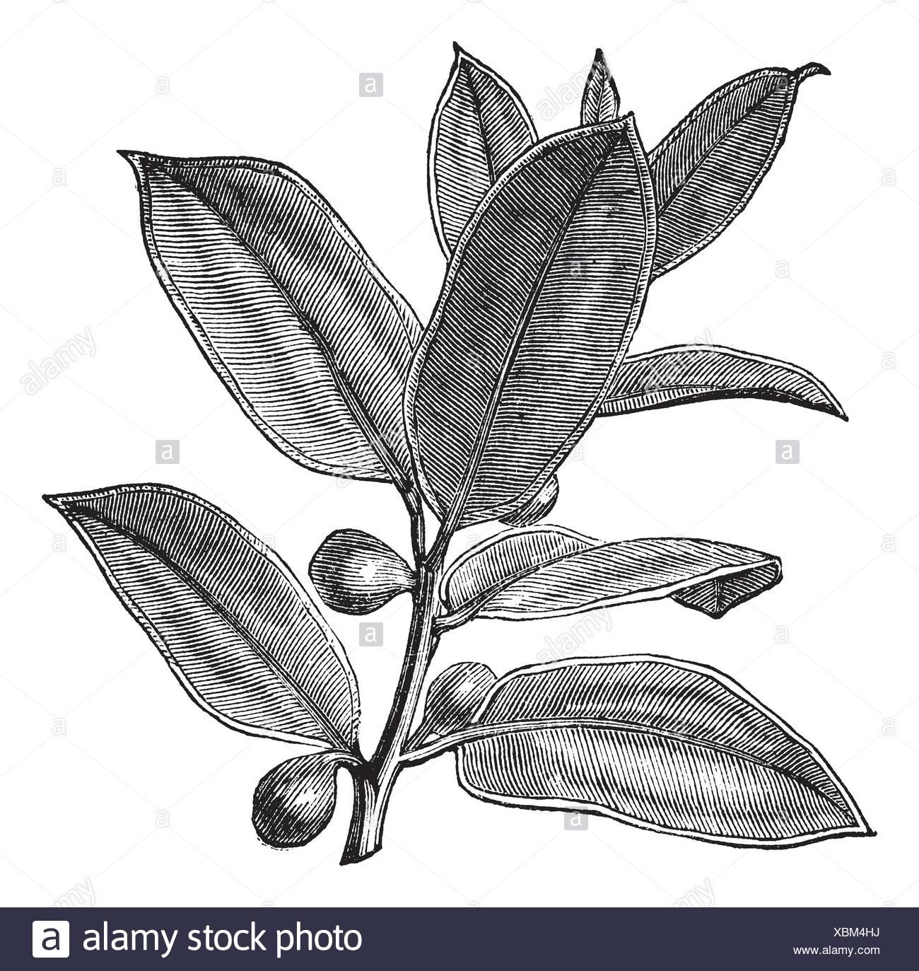 Come Riprodurre Il Ficus Benjamin impianto di gomma o gomma fig o boccola in gomma o gomma