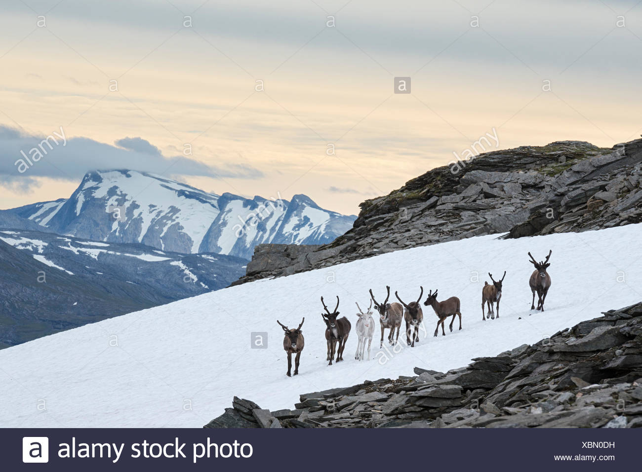 In una calda giornata estiva, semi-renna addomesticata, Rangifer tarandus, raccogliere su macchie di neve al fine di raffreddarsi ed evitare di insetti. Immagini Stock