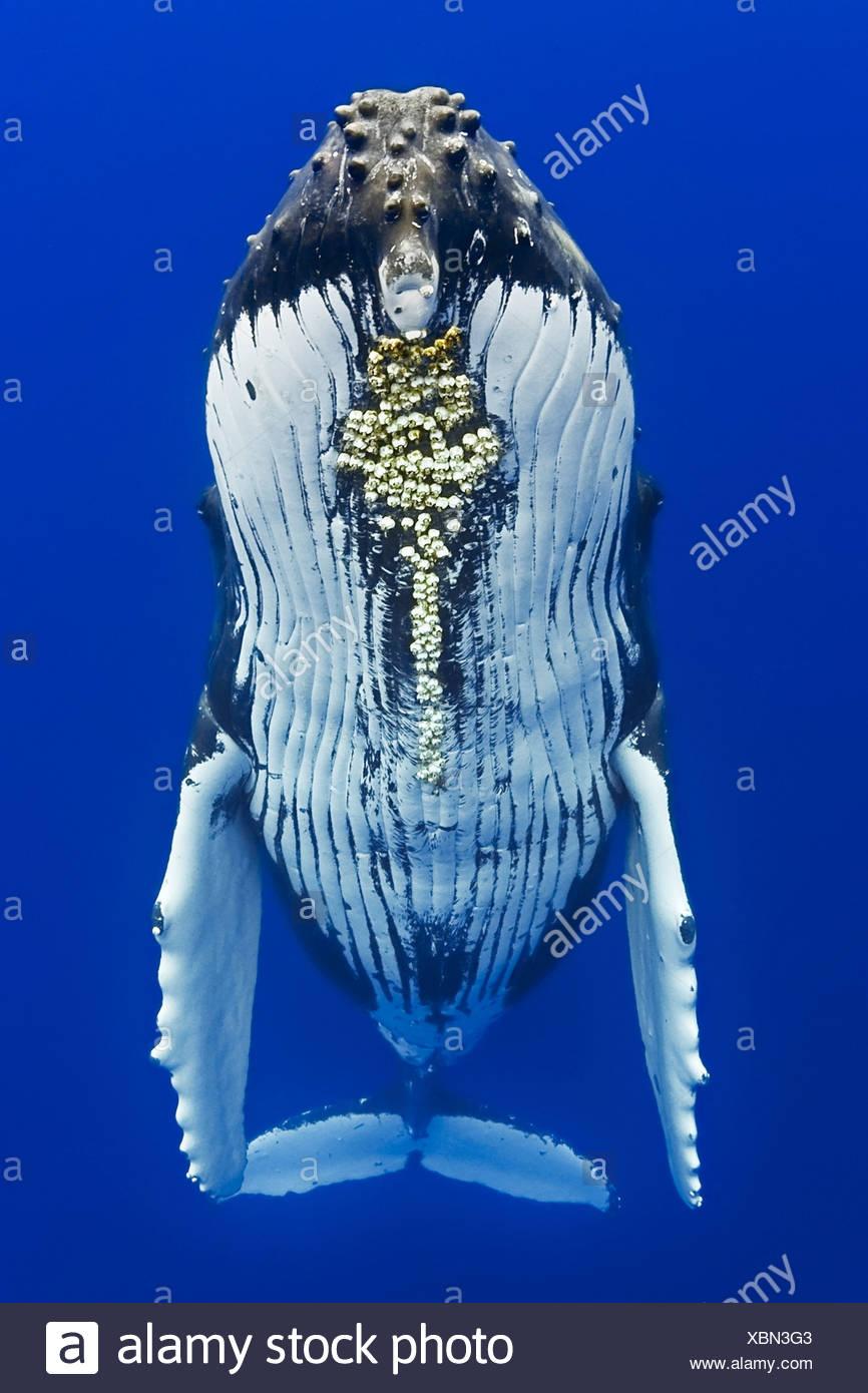 Humpback Whale, Megaptera novaeangliae, Big Island, Costa di Kona, Hawaii, STATI UNITI D'AMERICA Immagini Stock
