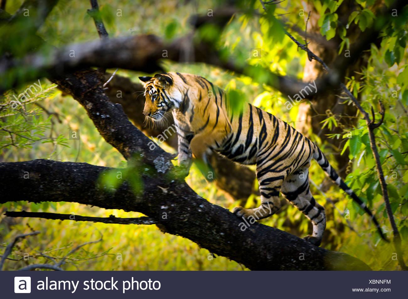 Adolescente di sesso maschile tigre del Bengala (circa quindici mesi) di arrampicarsi su un albero. Bandhavgarh NP, Madhya Pradesh, India. Immagini Stock