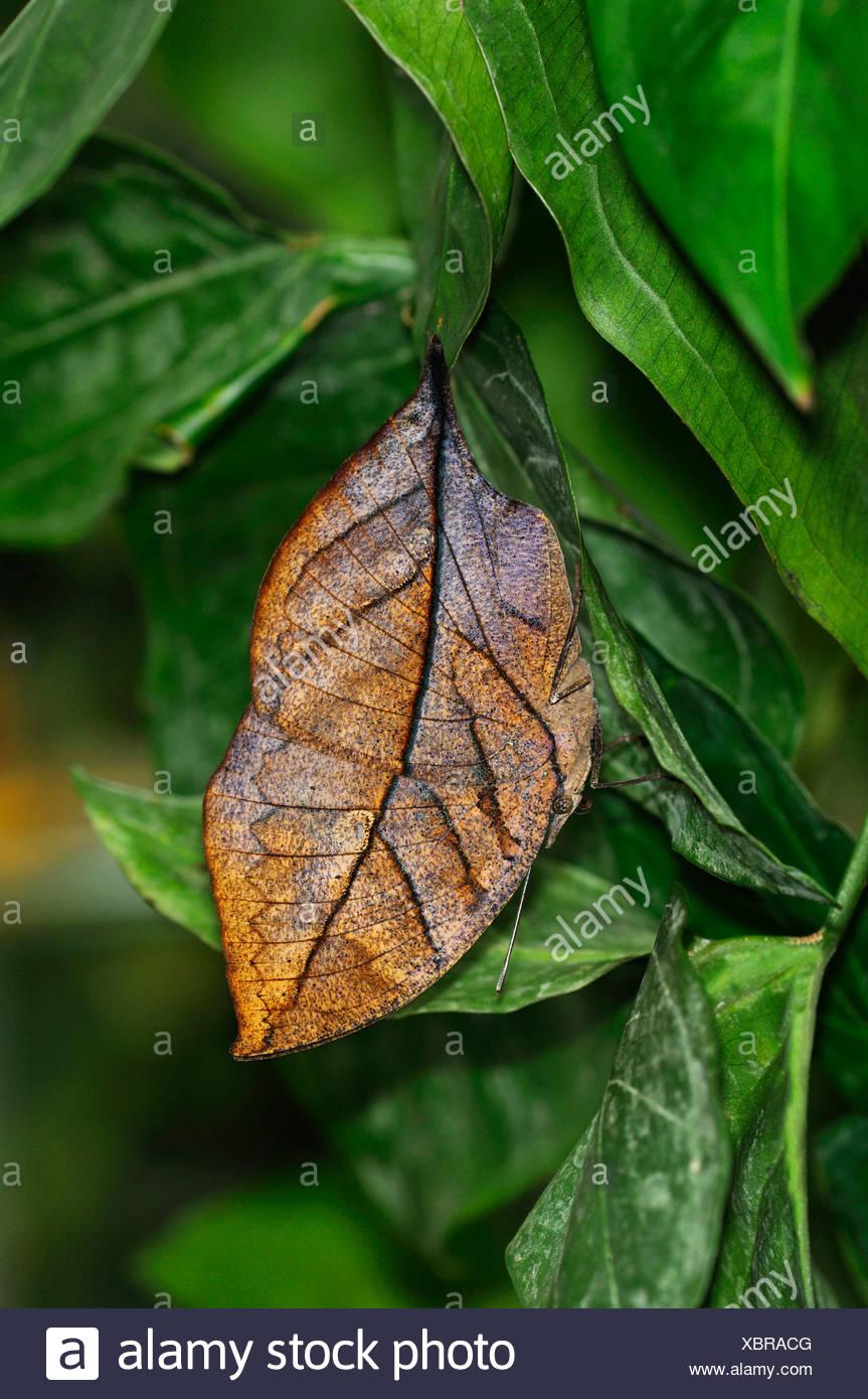 Indiano o: la malese Leafwing Butterfly (Kallima paralekta), ante chiuse imitano la forma e il colore di una foglia secca Immagini Stock
