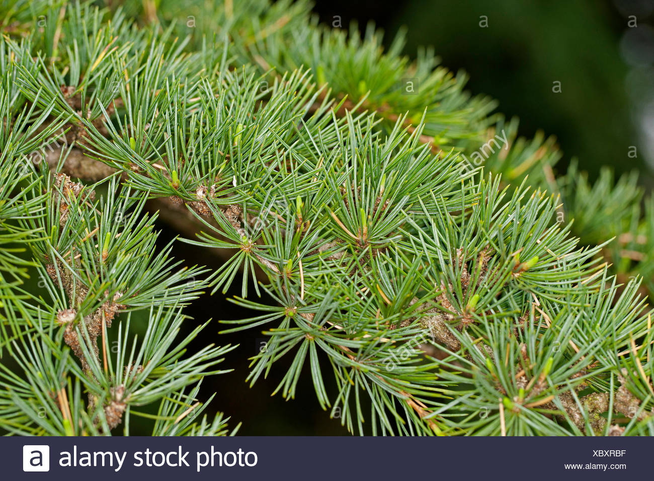 Il cedro del Libano, cedro del Libano (Cedrus libani, Cedrus libanotica), ramo Immagini Stock