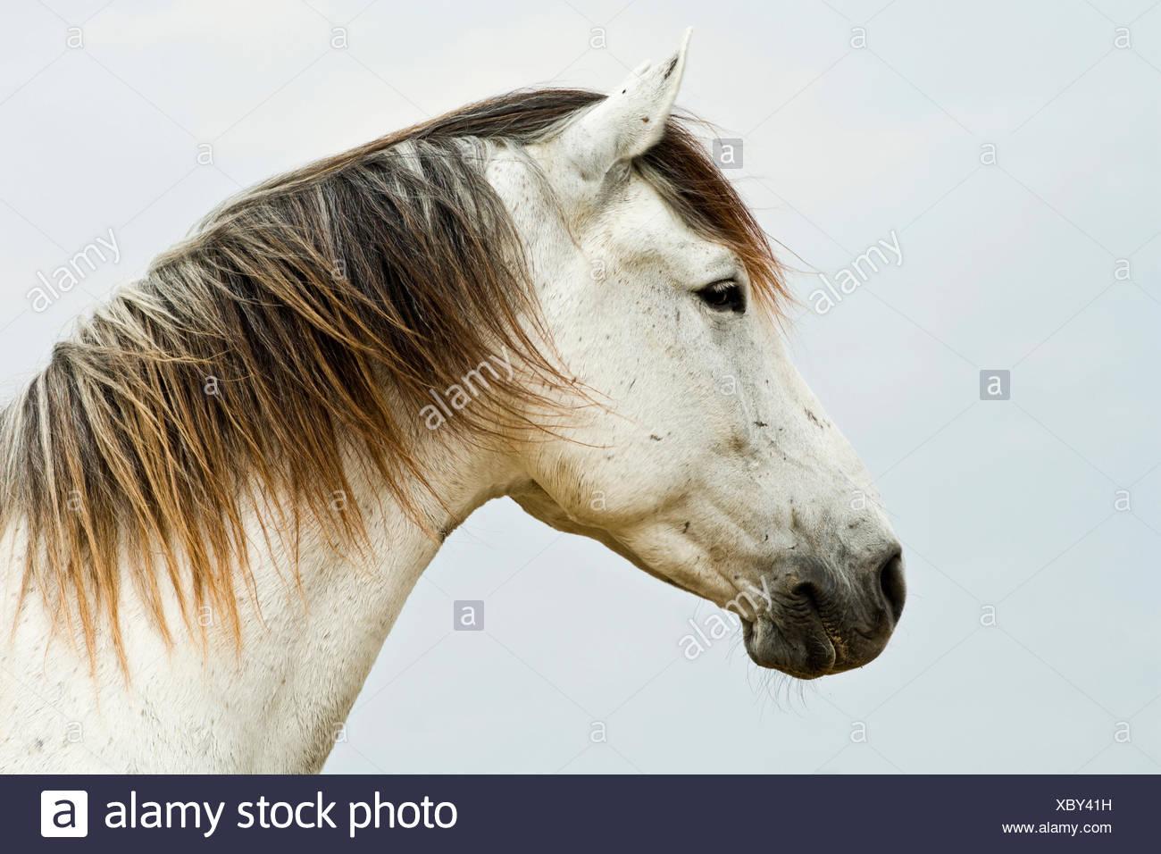 Cavallo lusitano, castrazione, White Horse, Andalusia, Spagna Immagini Stock