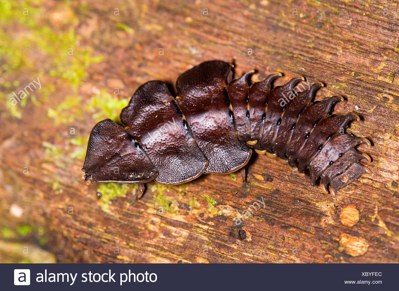 Coleottero trilobata (Platerodrilus sp.), femmina su deadwood, Malesia, Borneo Sabah, Danum Valley Foto Stock
