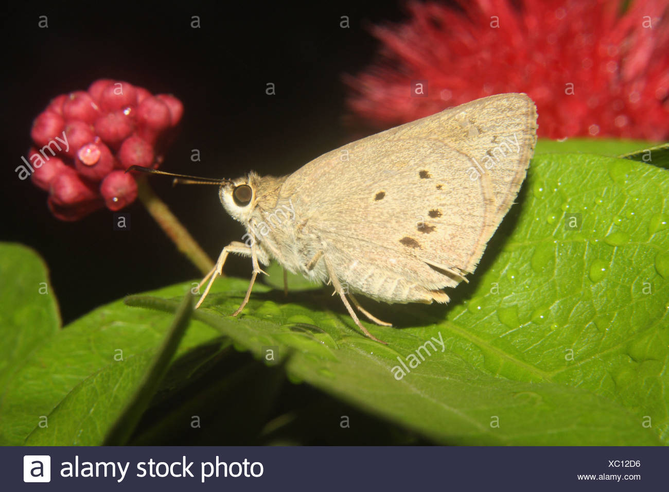 Indian Palm Bob, Suastus gremius Butterfly. Hesperiidae : Skippers Immagini Stock