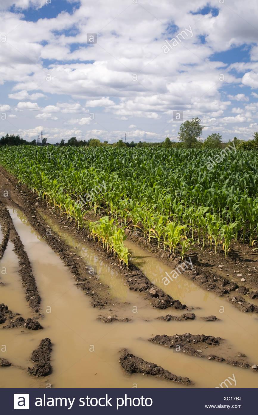 Campo di mais allagata con eccesso di acqua di pioggia a causa degli effetti del cambiamento climatico, Laval, Quebec, Canada Immagini Stock