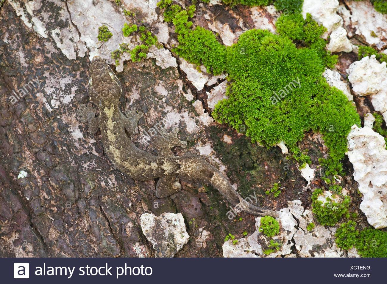 Foto di una rapa-tailed gecko sulla crogiolarsi di un albero, difficilmente visibile a causa del suo camuffamento Immagini Stock
