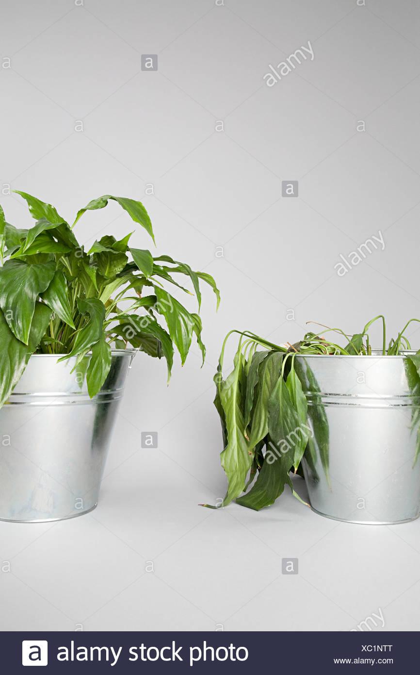 Impianto morente e pianta sana Immagini Stock