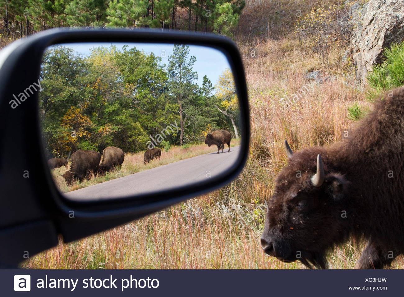 Pianure (Bison bison bison bison) in specchietto retrovisore, Custer State Park, Sud Dakota. Immagini Stock