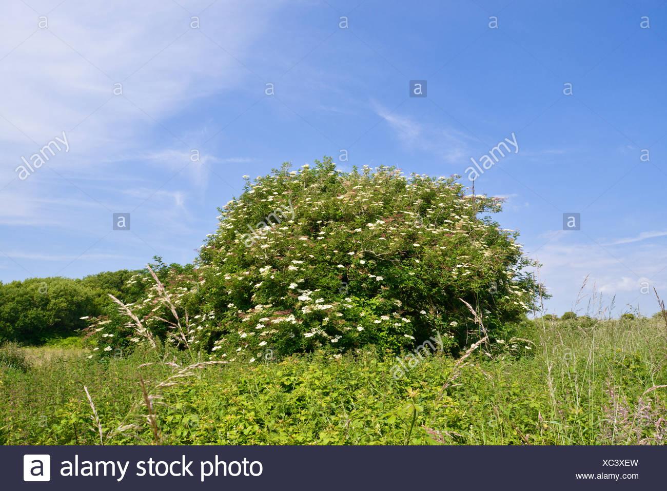Fioritura di Sambuco - Samubucus nigra a Kenfig Riserva Naturale, Galles del Sud Foto Stock